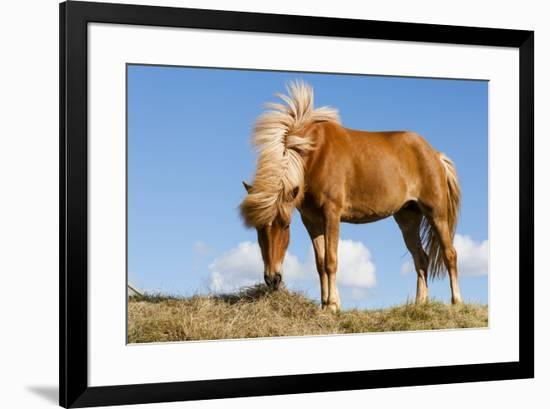 Iceland, Lake Myvatn, Icelandic horse. Portrait of an Icelandic horse.-Ellen Goff-Framed Premium Photographic Print