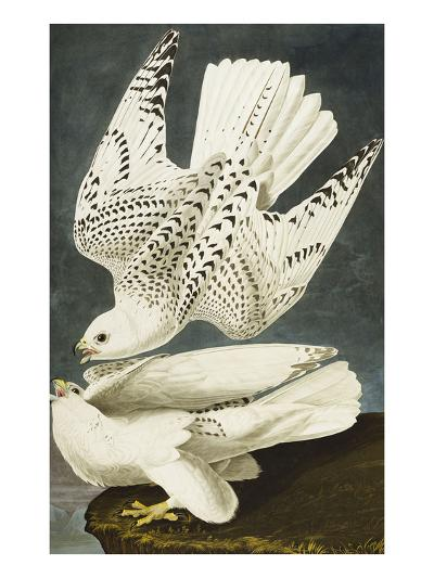 Iceland or Jer Falcon. Gyrfalcon (Falco Rustiocolis), from 'The Birds of America'-John James Audubon-Giclee Print