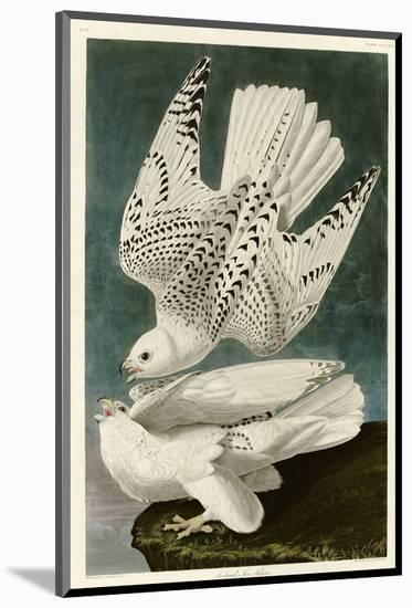 Iceland or Jer Falcon-John James Audubon-Mounted Premium Giclee Print