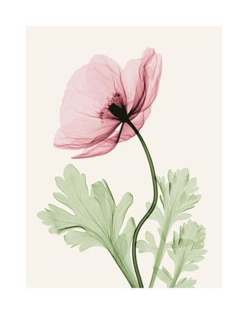 https://imgc.artprintimages.com/img/print/iceland-poppy-ii_u-l-f5m0y00.jpg?p=0