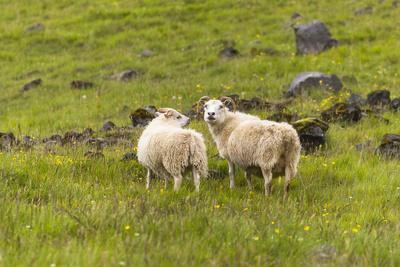 https://imgc.artprintimages.com/img/print/iceland-southwest-iceland-icelandic-sheep-are-commonly-seen-in-the-green-pastures_u-l-q1d57jo0.jpg?p=0