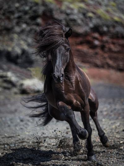 Icelandic Black Stallion, Iceland--Photographic Print