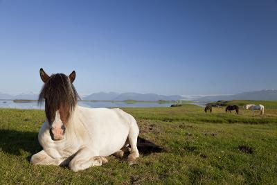 Icelandic Horse at Rest in A Field-Darren Baker-Photographic Print
