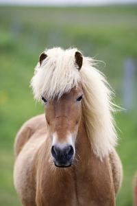 Icelandic Horse Close-Up