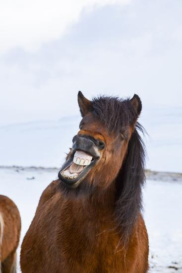 Icelandic Horse During Winter with Typical Winter Coat, Iceland-Martin Zwick-Photographic Print