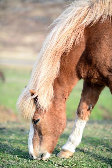 Icelandic Horse Grazing-Aleksandar Mijatovic-Photographic Print