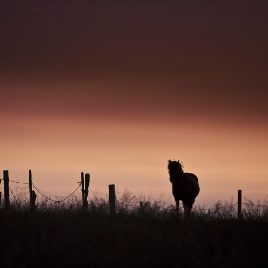Icelandic Horse in Pasture at Sunset-Arctic-Images-Photographic Print