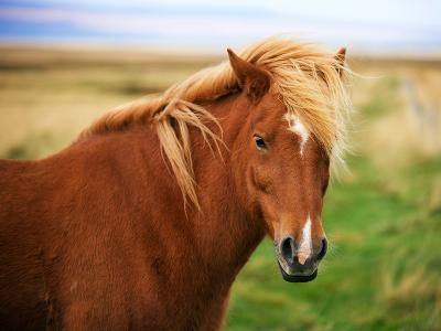 Icelandic Horse in the Field-dislentev-Photographic Print