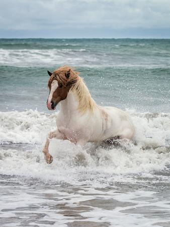 Icelandic Horse in the Sea, Longufjorur Beach, Snaefellsnes Peninsula, Iceland--Photographic Print