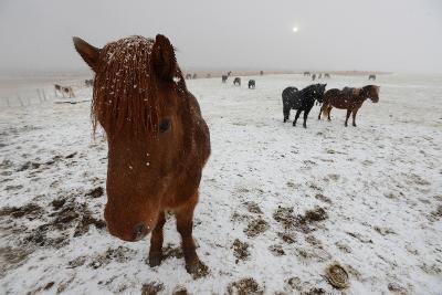 Icelandic Horse on Snowy Landscape-Raul Touzon-Photographic Print