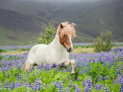 Icelandic Horse Running in Lupine Fields, Iceland--Photographic Print