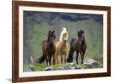 Icelandic Horse Three Standing--Framed Photographic Print
