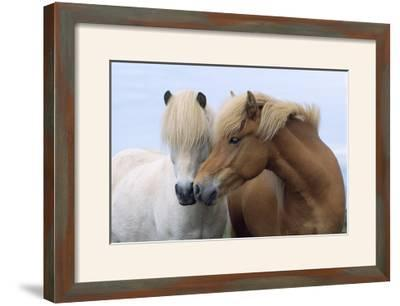 Icelandic Horse Two Smelling Each Other in Communication--Framed Photographic Print