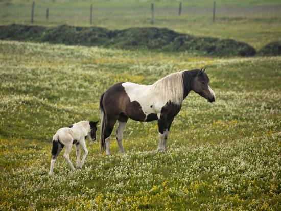 Icelandic Horse with Foal, Iceland-Adam Jones-Photographic Print