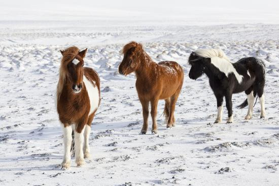 Icelandic Horse with Typical Winter Coat, Iceland-Martin Zwick-Photographic Print