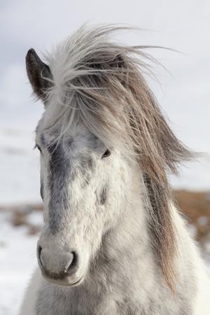https://imgc.artprintimages.com/img/print/icelandic-horse-with-typical-winter-coat-iceland_u-l-q12t89z0.jpg?p=0