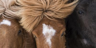 Bildergebnis für Iceland pony
