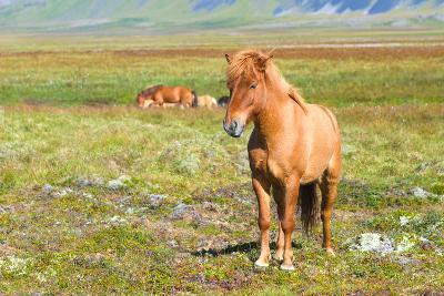 Icelandic Horse-Natalia Pushchina-Photographic Print