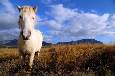 Icelandic Horse- gilnoiman-Photographic Print