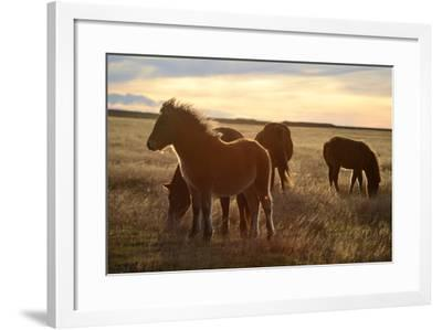 Icelandic Horses Grazing in Pasture-Raul Touzon-Framed Photographic Print