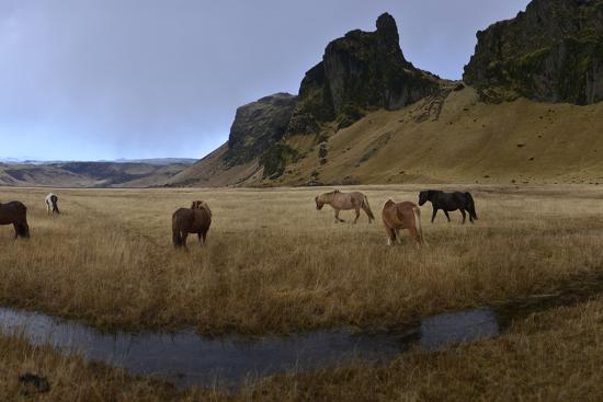 Icelandic Horses in a Pasture-Raul Touzon-Photographic Print