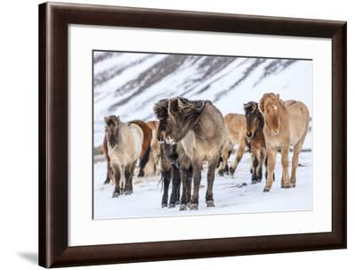Icelandic Horses in Winter Pasture Near Hofn, Iceland-Chuck Haney-Framed Photographic Print