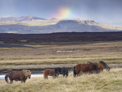 Icelandic Horses Near Snorrastadir, Snow-Covered Peaks of Ljosufjoll and Rainbow Behind-Patrick Dieudonne-Photographic Print