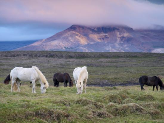 Icelandic Horses, Near Stykkisholmur, Snaefellsness Peninsula, West Iceland, Iceland, Polar Regions-Patrick Dieudonne-Photographic Print