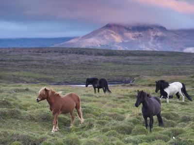 https://imgc.artprintimages.com/img/print/icelandic-horses-near-stykkisholmur-snaefellsness-peninsula-west-iceland-iceland-polar-regions_u-l-pfm9eq0.jpg?p=0