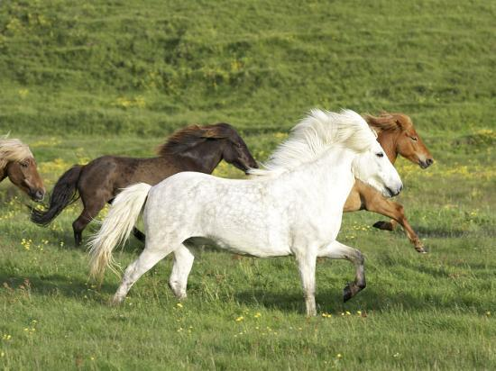 Icelandic Horses Running Across Meadow, Iceland-Mark Hamblin-Photographic Print