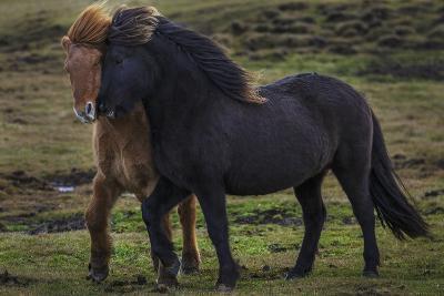 Icelandic Horses-Art Wolfe-Photographic Print