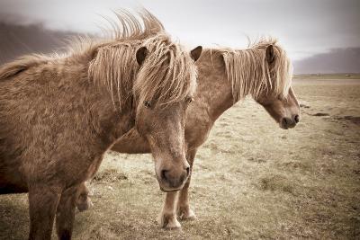 Icelandic Horses-Xavier Arnau Serrat-Photographic Print