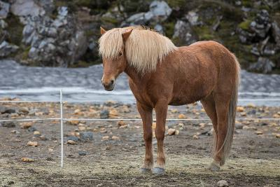 Icelandic Horses-F C G-Photographic Print