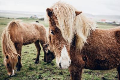 Icelandic Horses-Andrew Bayda-Photographic Print