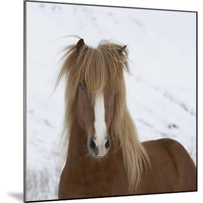 Icelandic Pony-Arctic-Images-Mounted Photographic Print