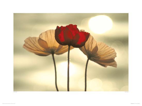 icelandic poppies giclee print by yoshizo kawasaki art com