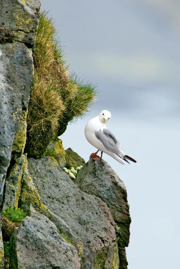 Icelandic Seagull-Howard Ruby-Photographic Print