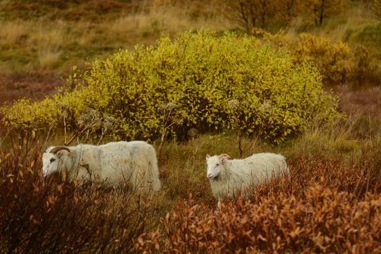 Icelandic Sheep Grazing and Resting Among Fall Foliage in Thingvellir National Park-Raul Touzon-Photographic Print