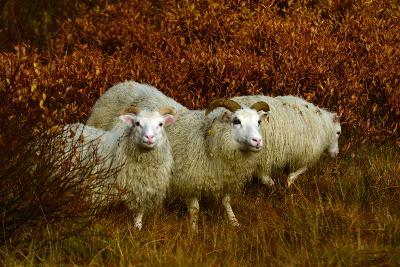 Icelandic Sheep, Ovis Aries, Among Fall Foliage in Thingvellir National Park-Raul Touzon-Photographic Print