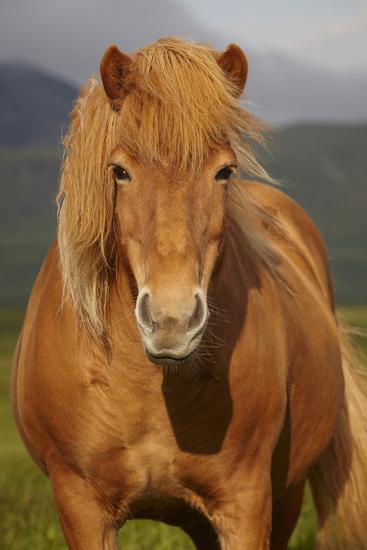 Icelandic Wild Horse Closeup- h368k742-Photographic Print