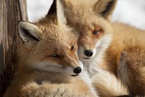 Fox in Snow Field by ICHIRO