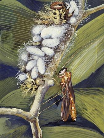 https://imgc.artprintimages.com/img/print/ichneumon-wasp-ophion-macrurum-vespidae_u-l-pvrspb0.jpg?p=0