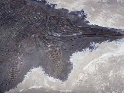 Ichthyosaur Fossil - Fish Lizard (Stenopterygius Quadricissus) Jurassic Period 185 M.Y.A Germany-Ken Lucas-Photographic Print