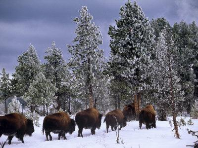Idaho, Yellowstone National Park, Bison are the Largest Mammals in Yellowstone National Park, USA-Paul Harris-Photographic Print