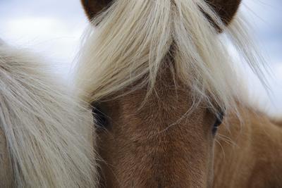 Eyes of Icelandic Horse