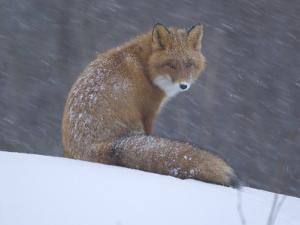 Red Fox Sitting in Snow, Kronotsky Nature Reserve, Kamchatka, Far East Russia by Igor Shpilenok
