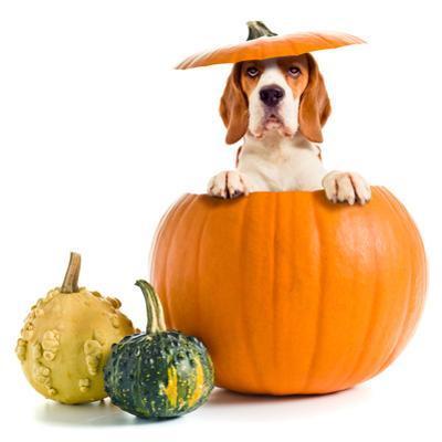 Beagle in Pumpkin by igorr