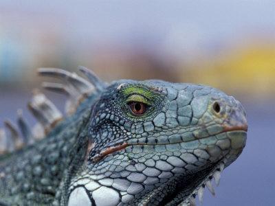 https://imgc.artprintimages.com/img/print/iguana-curacao-caribbean_u-l-p428xu0.jpg?p=0