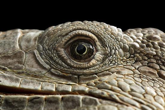 Iguana Eye-Linda Wright-Photographic Print