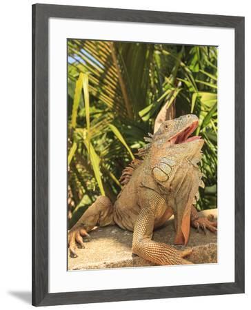 Iguana Farm, East End of Roatan, Bay Islands, Honduras-Stuart Westmorland-Framed Photographic Print